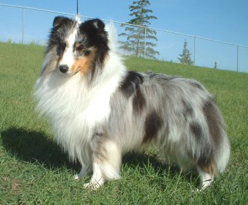 Sheltie Puppies on Ch Willowglyn Vanilla Sky Is A Blue Merle Or Blue  White   Tan